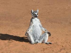 koshachiy-lemur4-300x225.jpg