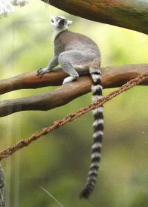 koshachiy-lemur7-214x300.jpg
