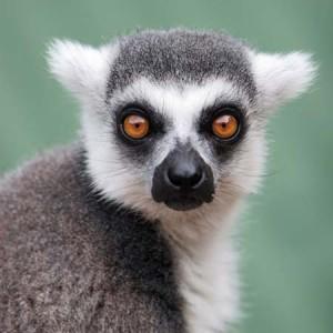 koshachiy-lemur6-300x300.jpg