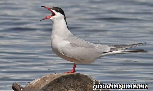 krachka-ptica-obraz-zhizni-i-sreda-obitaniya-pticy-krachki-1.jpg