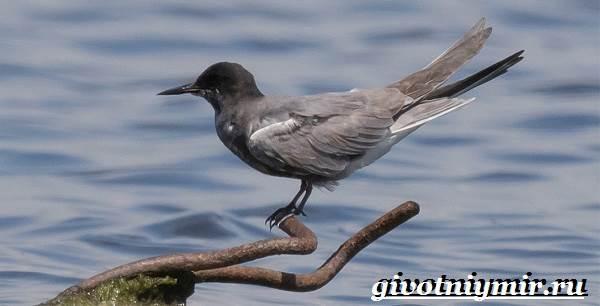 krachka-ptica-obraz-zhizni-i-sreda-obitaniya-pticy-krachki-2.jpg