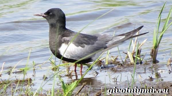 krachka-ptica-obraz-zhizni-i-sreda-obitaniya-pticy-krachki-3.jpg