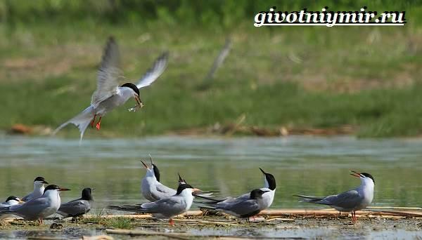 krachka-ptica-obraz-zhizni-i-sreda-obitaniya-pticy-krachki-5.jpg