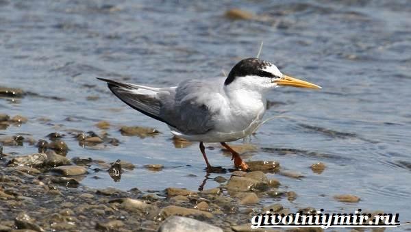 krachka-ptica-obraz-zhizni-i-sreda-obitaniya-pticy-krachki-6.jpg