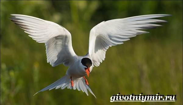 krachka-ptica-obraz-zhizni-i-sreda-obitaniya-pticy-krachki-8.jpg