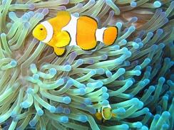 im244-320px-Common_clownfish.jpg