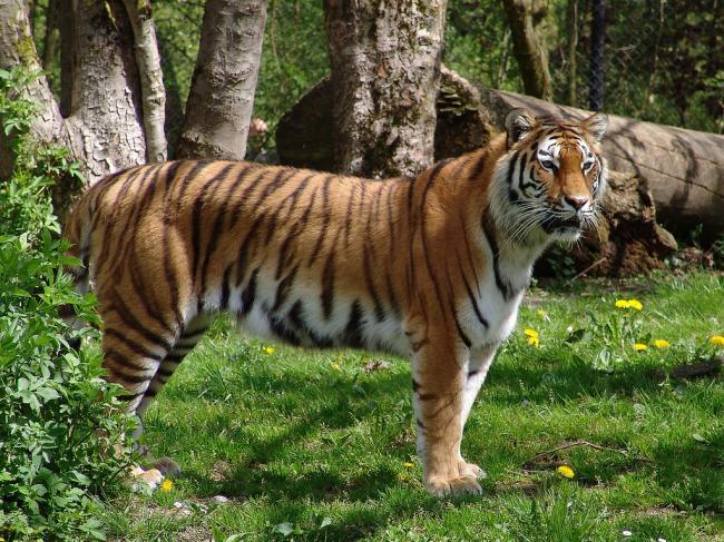 amurskiy_tigr.jpg