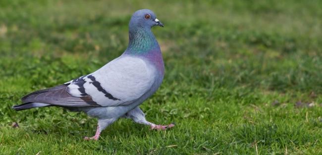 sizye-golubi-osobennosti-vida-i-obraz-zhizni-ptic-1.jpg