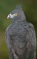 120px-Black_and_chestnut_Eagle.jpg