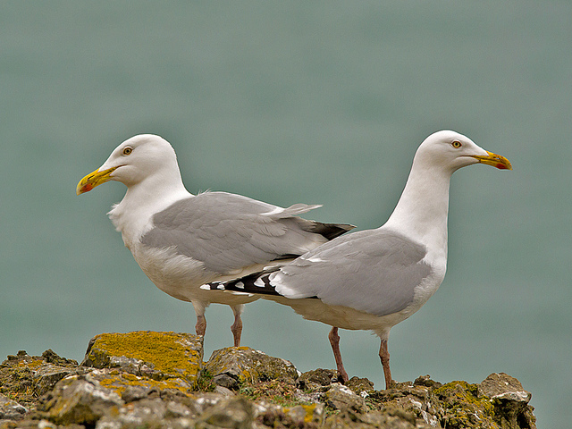 Herring-Gull.jpg