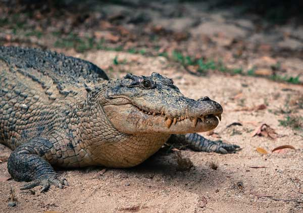 doklad-krokodil-interesnyie-faktyi-kratkoe-opisanie.jpg