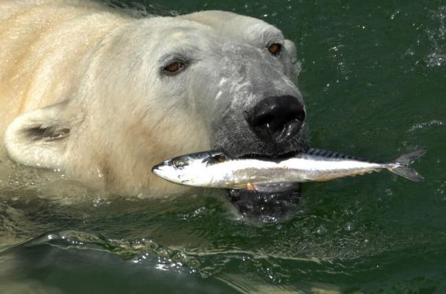 Belyj-medved-pojmal-rybu-900x594.jpg