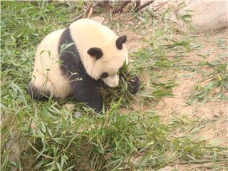 panda_breeding_and_research_center69e02aee1b90_320x240.jpg
