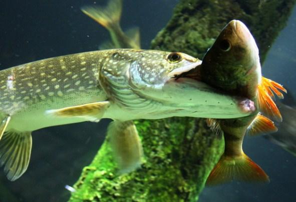 Pojmala-rybu.jpg