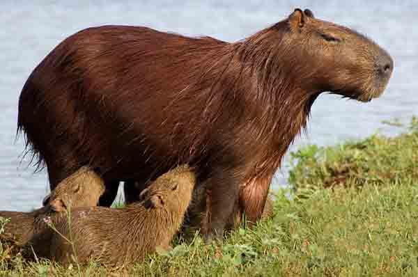 amazon-fauna-kapibara.jpg