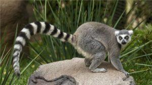 Hvost-lemura-foto-vid-koshachij-lemur1-300x169.jpg