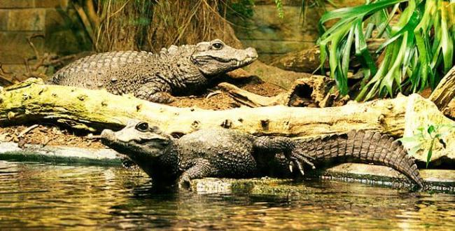 tuporylyy-krokodil-vozle-vodoyoma.jpg