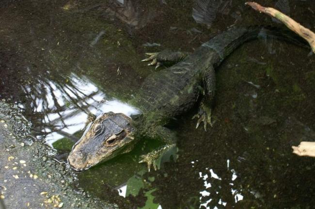 tuporylye-krokodily-sovremenniki-dinozavrov-animal-reader.-ru-001-1024x681.jpg