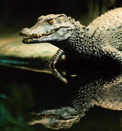 tuporylye-krokodily-sovremenniki-dinozavrov-animal-reader.-ru-005-958x1024.jpg