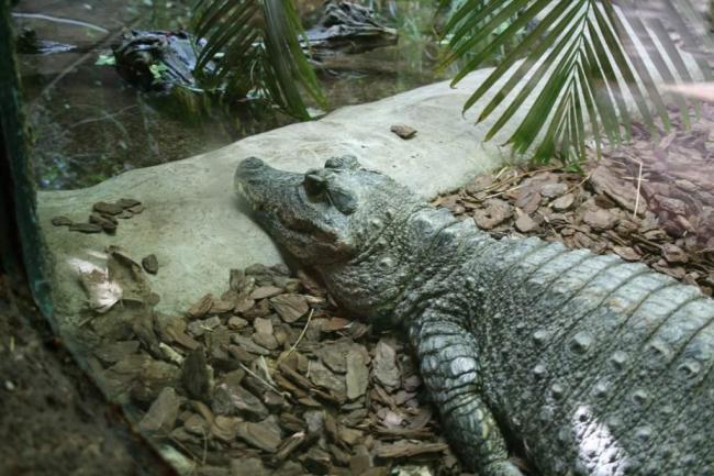 tuporylye-krokodily-sovremenniki-dinozavrov-animal-reader.-ru-004-1024x683.jpg