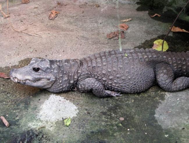tuporylye-krokodily-sovremenniki-dinozavrov-animal-reader.-ru-003-1024x777.jpg