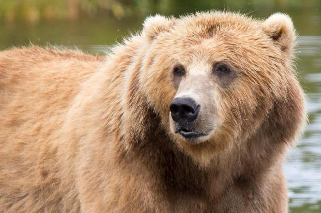Medved-kadyak-min.jpg