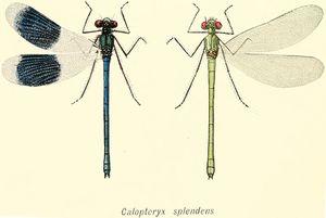 300px-Calopteryx-splendens.jpg