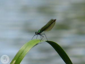 300px-Calopteryx_splendens_femaleRE.jpg