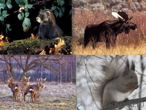 Животные-умеренного-пояса.jpg
