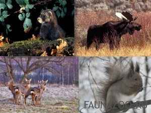 Животные-умеренного-пояса-300x225.jpg