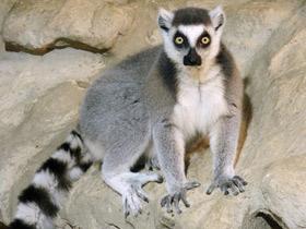 lemur-catta_small_13.jpg