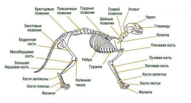 skelet-koshki-podrobnaya-anatomiya-1.jpg