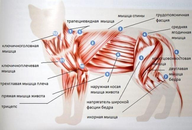 Myishechnyiy-skelet-koshki.jpg
