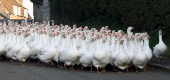 slider-british-goose-producers81-e1491315198539.jpg