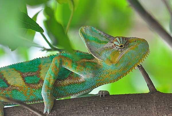 doklad-na-temu-xameleon-6-klass.jpg