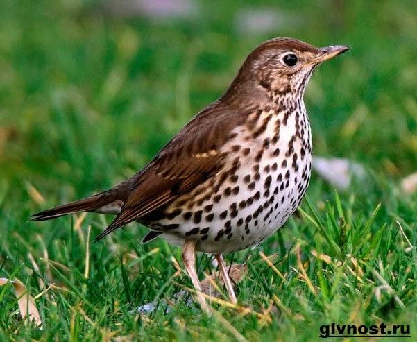 drozd-ptica-obraz-zhizni-i-sreda-obitaniya-drozda-8.jpg