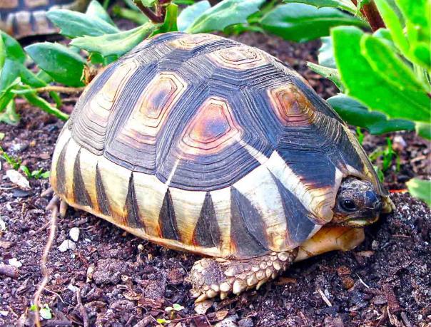 Южноафриканская клювогрудая, или черепаха-бушприт