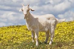 im244-320px-Domestic_goat_kid_in_capeweed.jpg