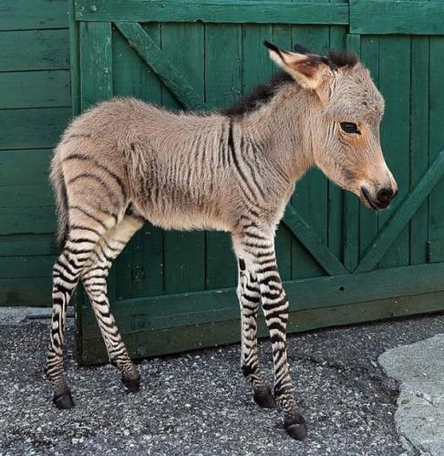 gibrid-zebri-i-osla.jpg