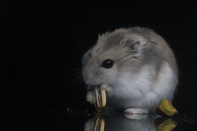 hamster-s-semkoi-1.jpg