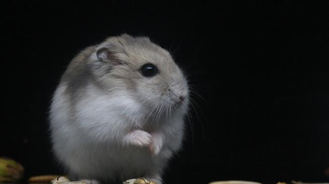 hamster-belok.jpg