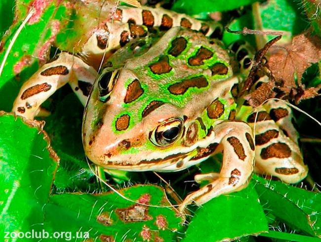 leopardovaya-lyagushka5.jpg