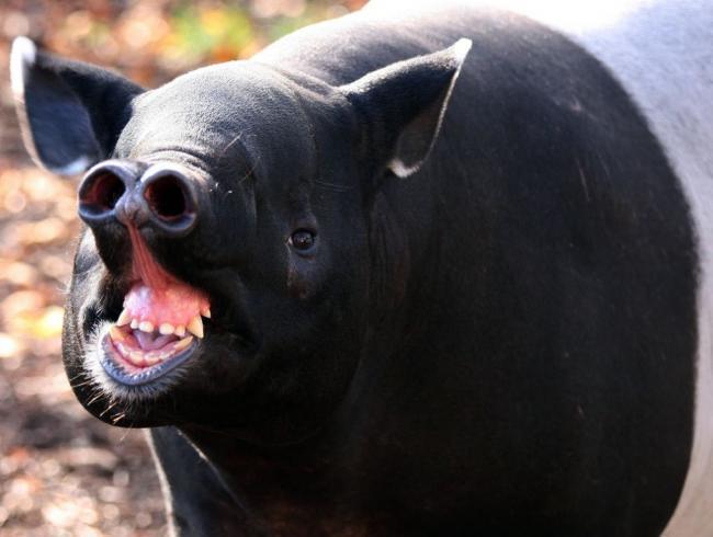 c-users-darya30-desktop-tapir10-jpg.jpeg