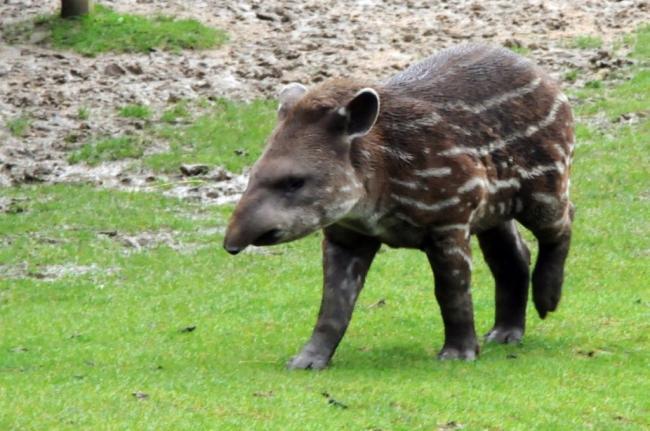 c-users-darya30-desktop-1445339906_tapir-5-jpg-1024x680.jpeg