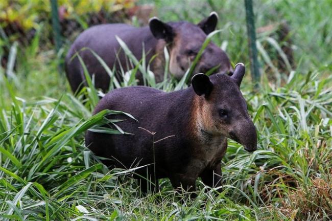 c-users-darya30-desktop-tapir-foto-jpg.jpeg