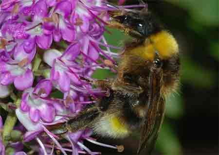 Bumblebee_January.jpg