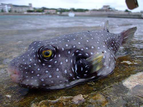 ryba-sobaka-skalozub.jpg