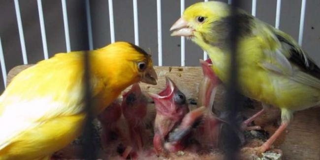 Размножение-канареек-проблемы.jpg