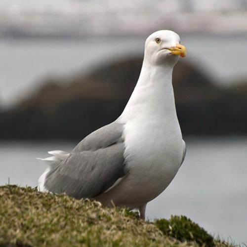 herring-gull-2.jpg