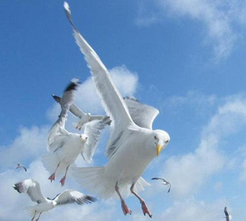 herring-gull-3.jpg